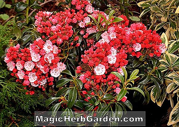 Kalmia latifolia (Star Cluster Mountain Laurel)