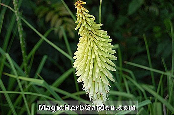 Kniphofia (Bunga Ice Queen Torch)