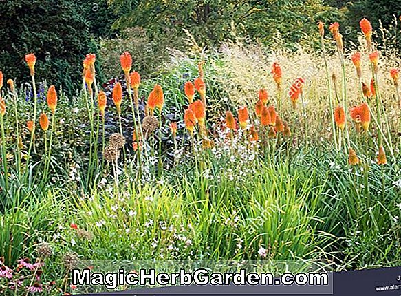 Kniphofia caulescens (Caulescens Torch Flower)