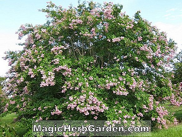 Lagerstroemia indica (Muskogee Crapemyrtle) - #2