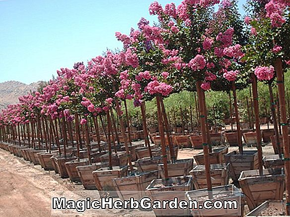 Lagerstroemia indica (Pink Csipke Crapemyrtle)