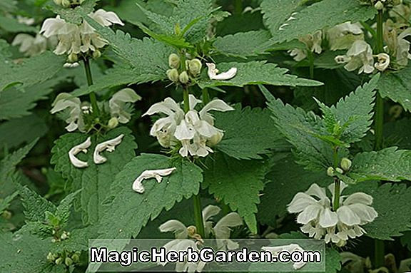 Album Lamium (Beedham's White Deadnettle)