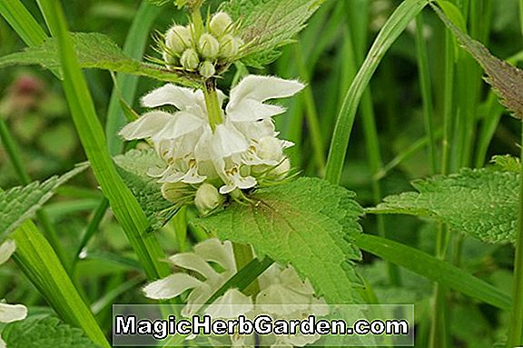 Lamium album (Pink Pewter Deadnettle) - #2