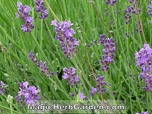 Lavandula angustifolia (Twickle Purple Lavender)