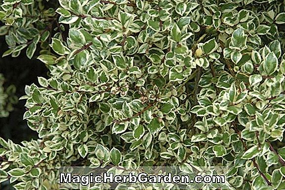 Ligustrum japonicum (Gold Spot Privet)