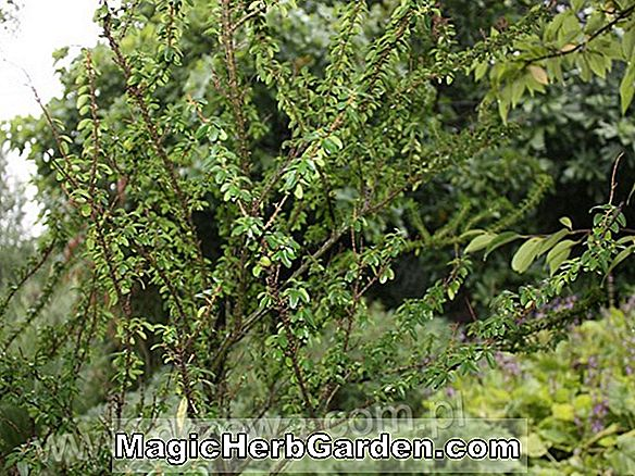 Ligustrum sinense (Wimbish Privet)