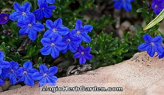 Lithodora (Grace Ward Lithodora)