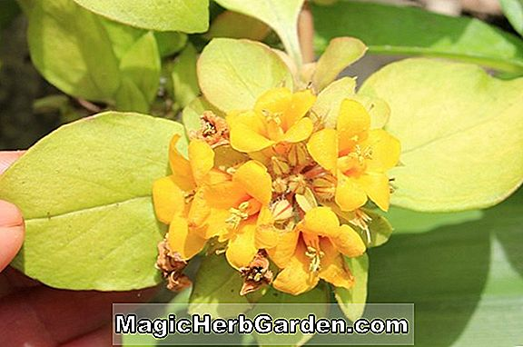 Lysimachia japonica (Japonica Loosestrife)