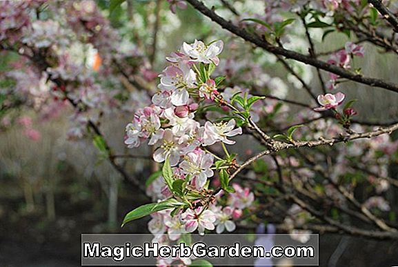 Malus (Coral Cascade Flowering Crabapple)