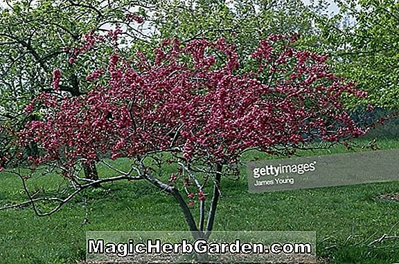 Malus (Sparkler Flowering Crabapple) - #2