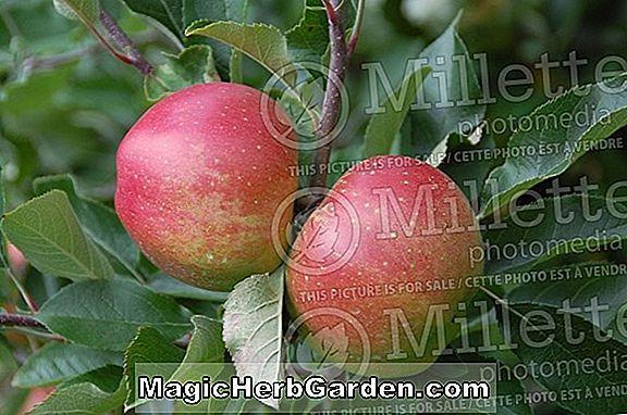 Malus domestica (Mantet Apple)