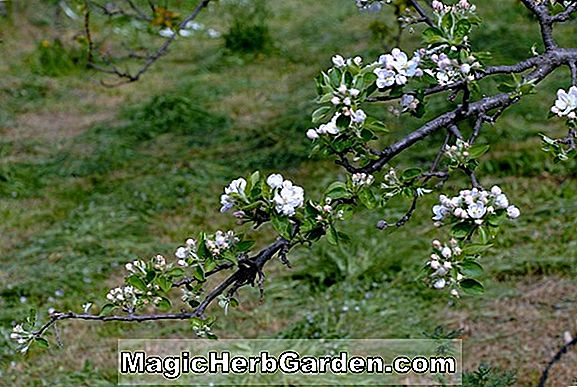Malus domestica (Hazen Apple)