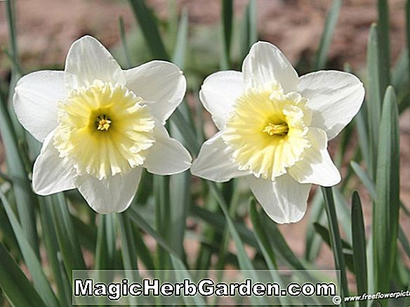 Narcissus (Delibes Narcissus)