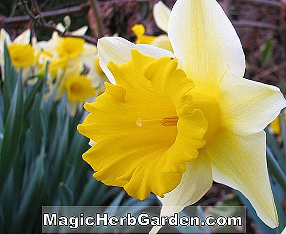Narcissus (Angel Narcissus)