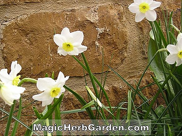 Narcissus (Woodland Prince Narcissus)