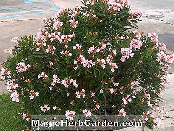Nerium oleander (Hearty Red Oleander)