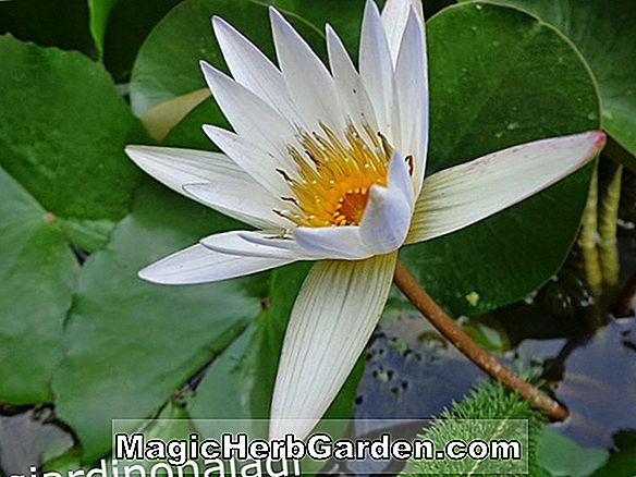 Nymphaea (Diana Tropical Water Lily)