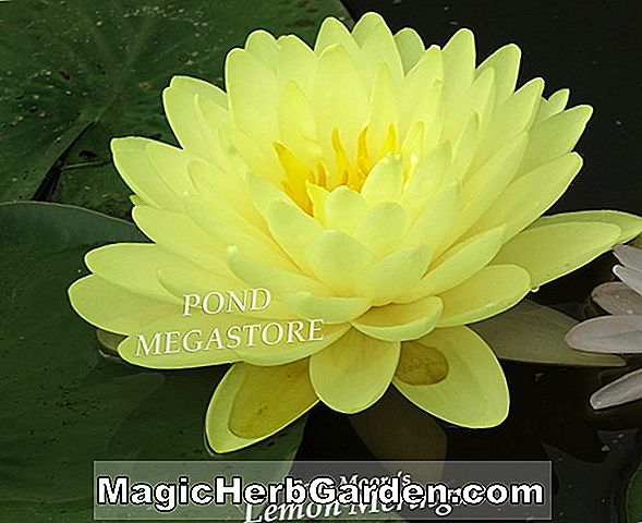 Nymphaea (Dawn Hardy Water Lily)