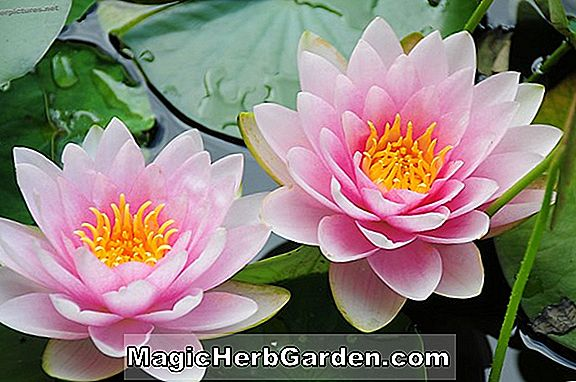 Nymphaea (Indica Spira Tropical Water Lily)