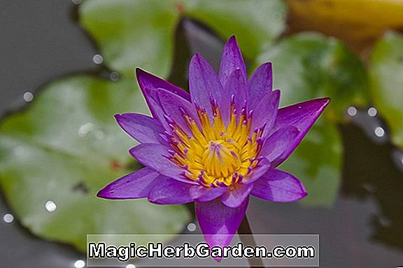 Nymphaea capensis (Cape Waterlily)