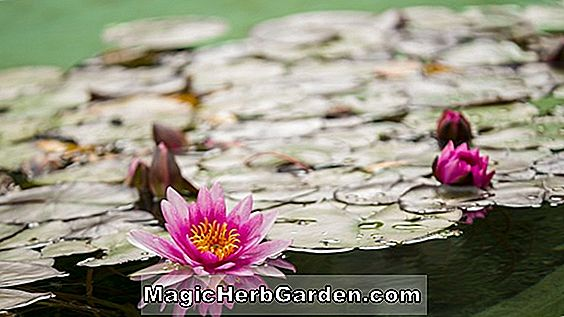 Nymphaea laydekeri (Waterlilly)