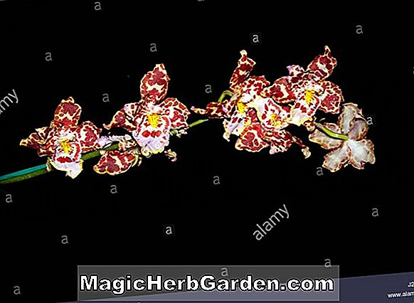Odontocidium (Purbeck Gold Orchid)
