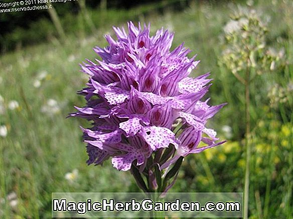 Orchis masszula (Early Purple Orchid)