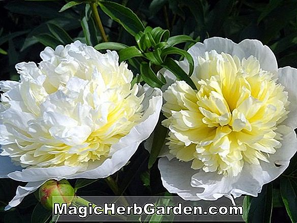 Paeonia lactiflora (Butter Bowl Peony)