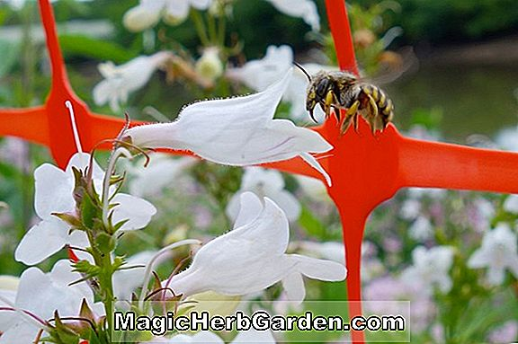 Penstemon (Lavender Queen Penstemon) - #2