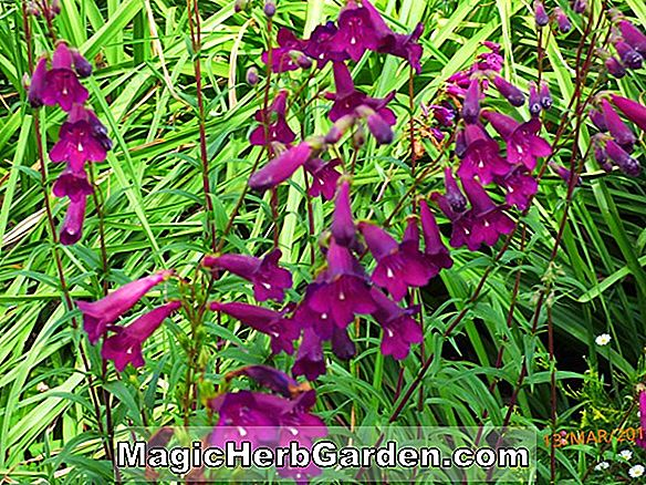 Penstemon (Blackbird Penstemon)