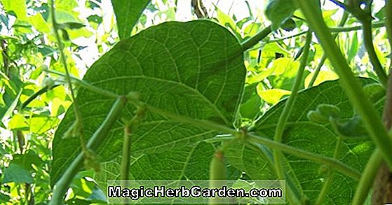 Phaseolus vulgaris (Mirada Snap Bean)