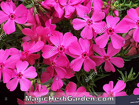 Phlox subulata (Greencourt Purple Moss Phlox) - #2