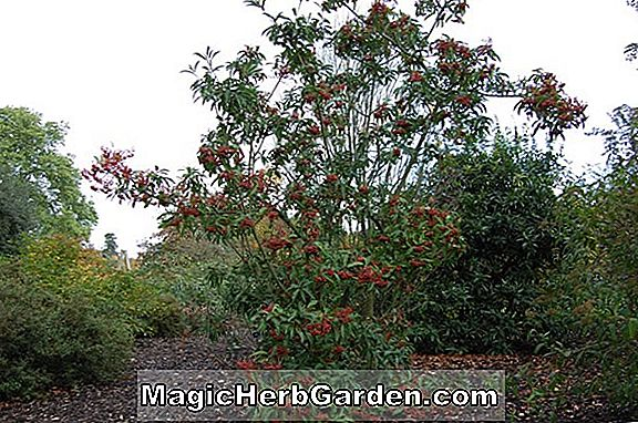 Photinia davidiana (David's Photinia) - #2