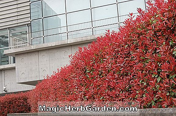 Photinia fraseri (Red Robin Photinia)