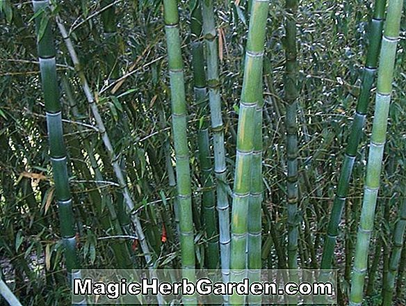 Phyllostachys dulcis (Sweetshoot Bamboo)