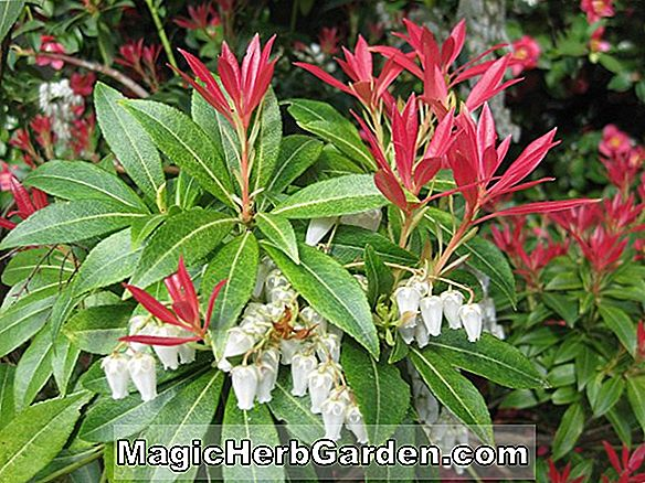 Pieris japonica (Purity Pieris)