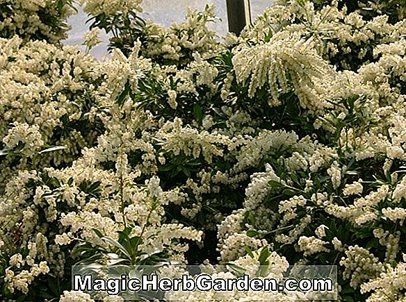 Pieris japonica (White Cascade Pieris)