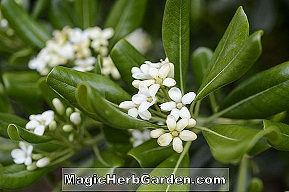 Pittosporum tobira (Tobira Pittosporum)
