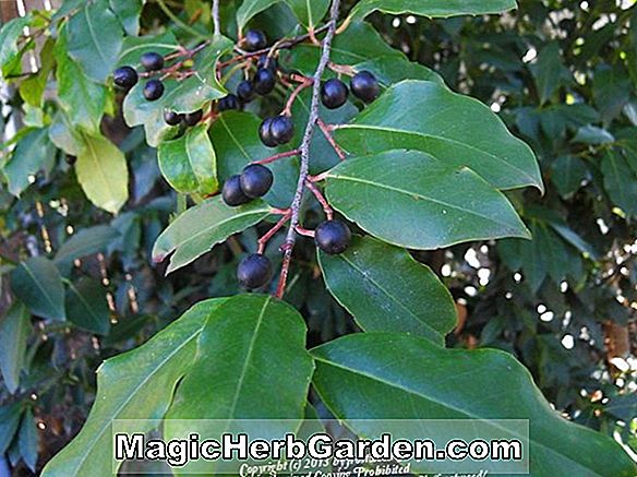 Prunus caroliniana (Carolina Cherry Laurel)