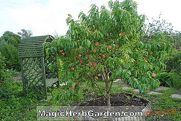 Prunus persica (August Pride Peach) - #2