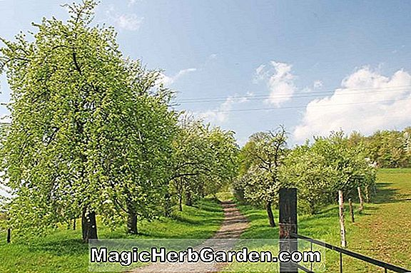 Pyrus communis (Sheldon Pear)