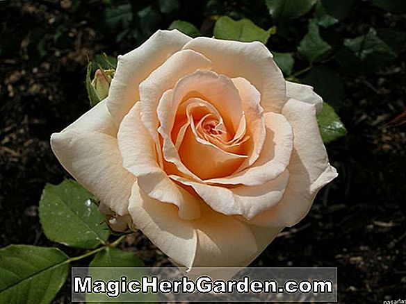 Rosa (Alpine Sunset Rose)
