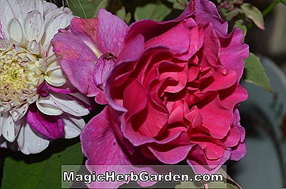 Rosa (Redcoat Rose)