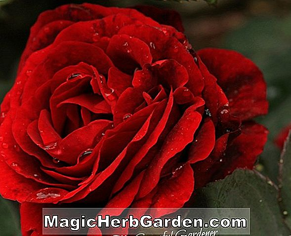 Rosa (Red Rascal Rose)