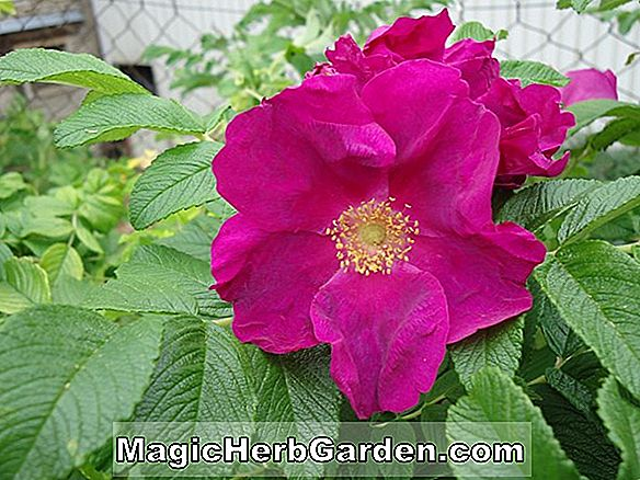 Rosa (Sally's Rose Rose)