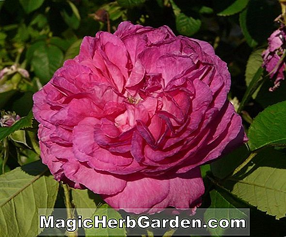 Rosa (Duc de Sussex Rose) - #2