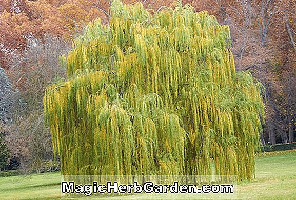 Salix alba (Golden Weeping Willow)
