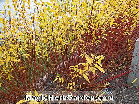 Salix (Flame Willow)