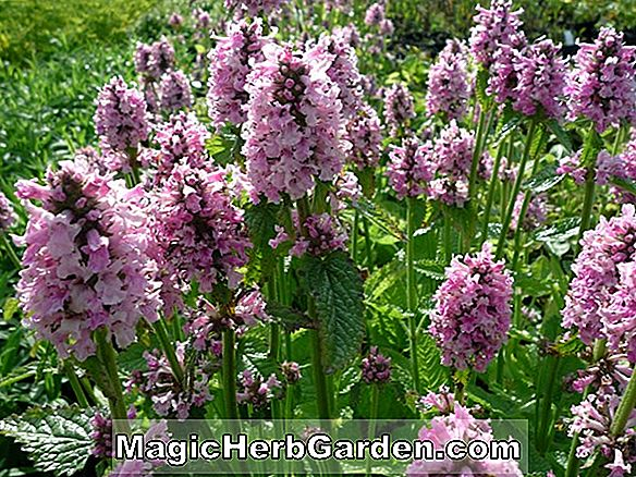 Stachys officinalis (Rosea Superba)