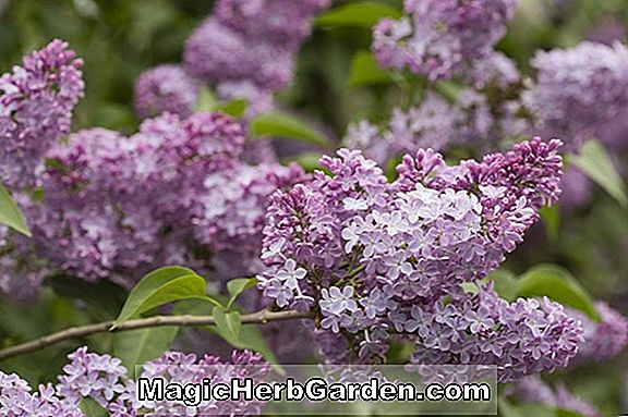 Syringa vulgaris (Firmament Common Lilac)
